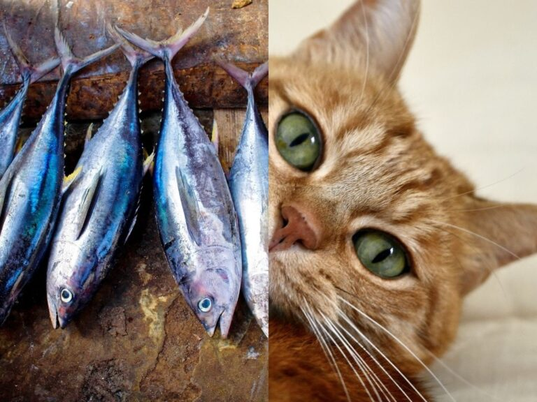 Is Tuna Bad For Cats