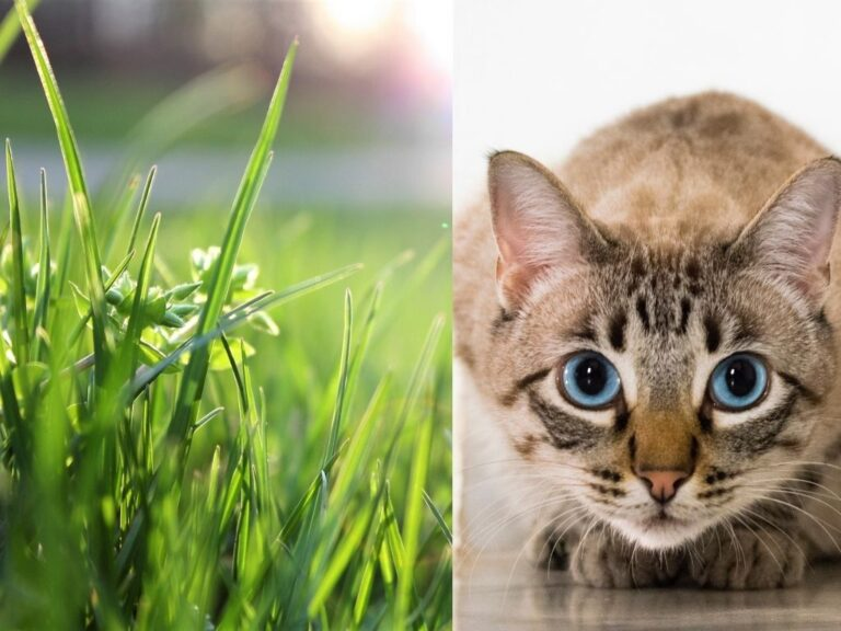 What is Cat Grass