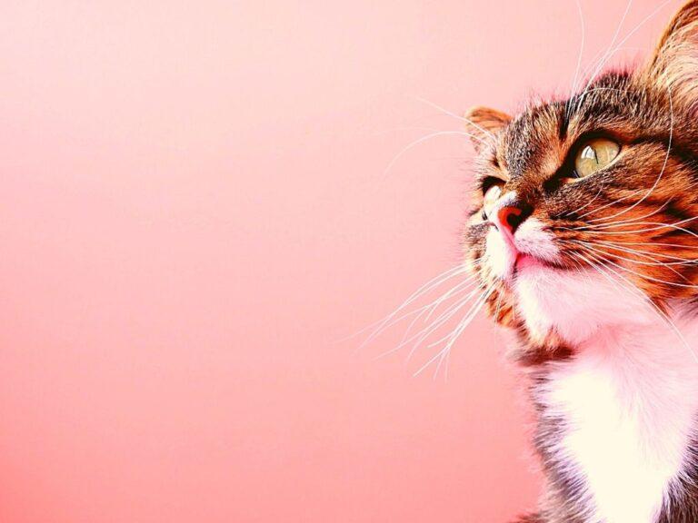 Cat Ear Wax vs Mites
