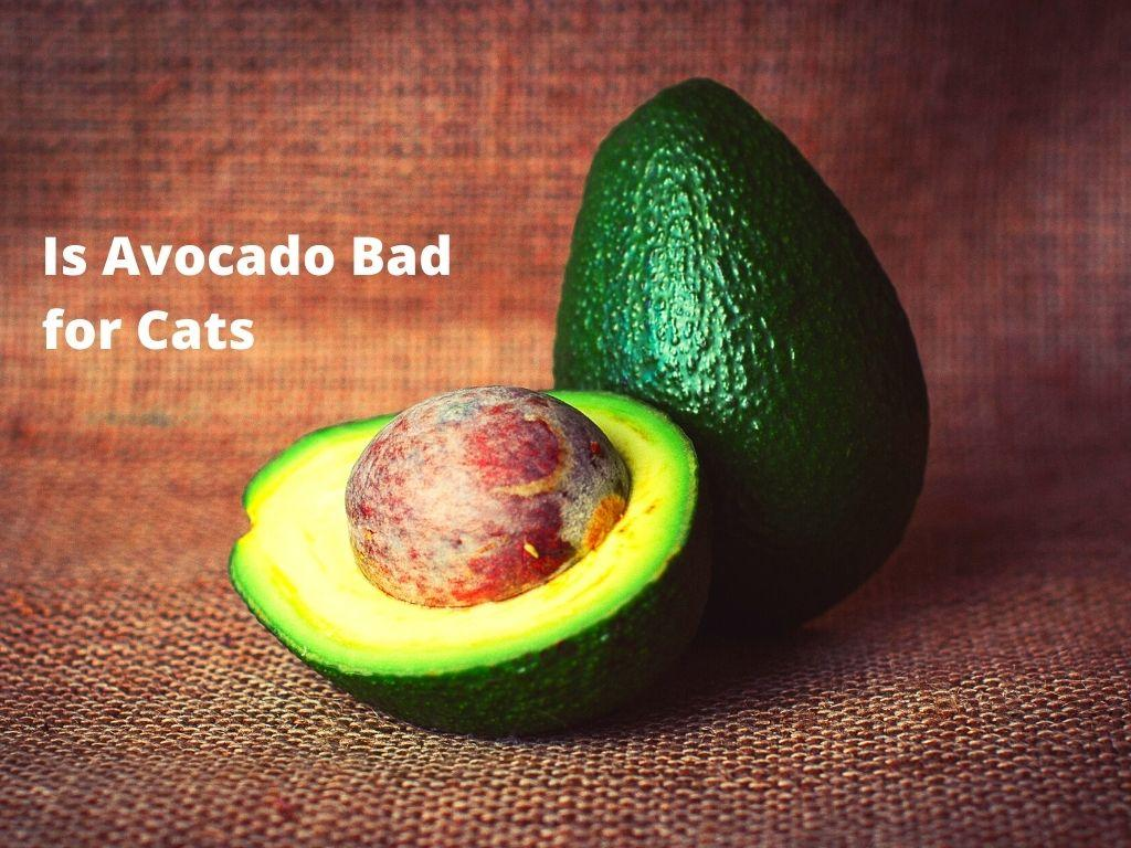 Is Avocado Bad for Cats