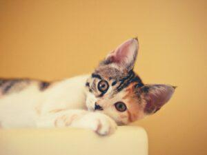 Is Frontline Safe For Cats