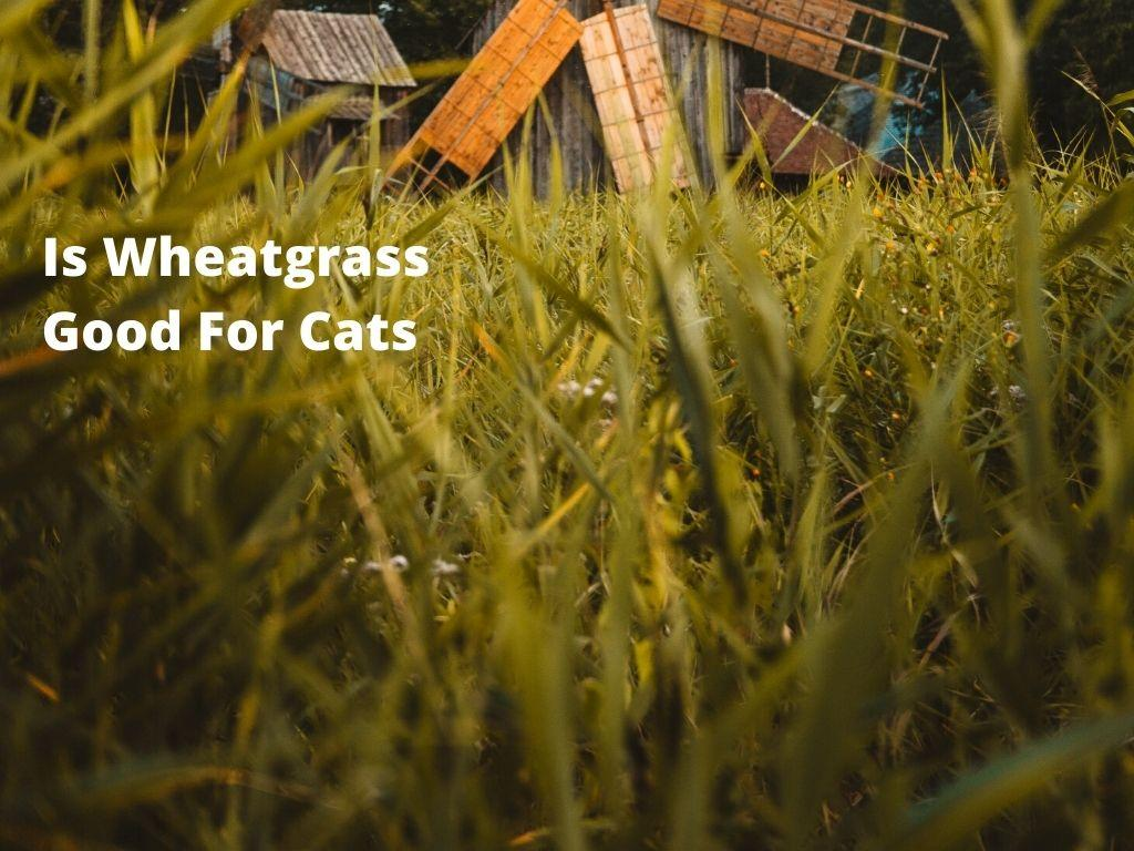 Is Wheatgrass Good For Cats